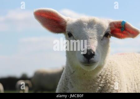 close up pet lamb - Stock Photo
