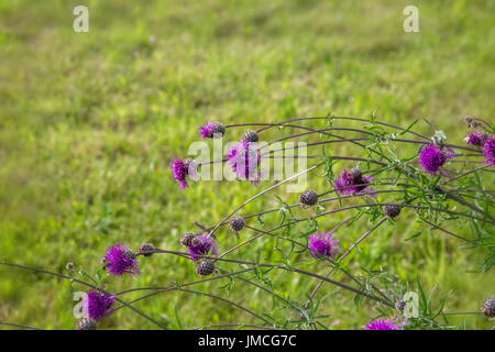 Thistle, Carduus,Thistle flower at sunrise in golden tones, selective focus. The Thistle is a symbol of Scotland. - Stock Photo