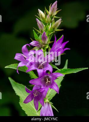 Beautiful Vivid Purple Flowers And Emerald Foliage Of Campanula Latifolia Bellflower British Wildflowers On
