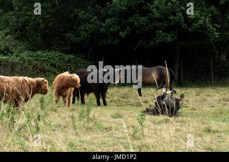 Highland cattle looking at a horse rolling on the ground. - Stock Photo