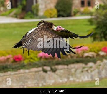 Hooded vulture, Necrosyrtes monachus, in flight - Stock Photo
