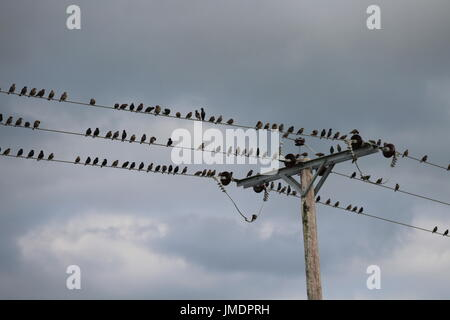 Starlings perching on power line - Stock Photo