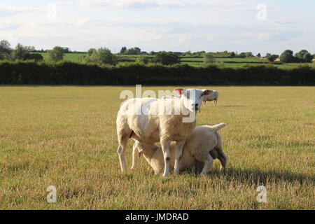 Texel cross ewes and lambs on grass - Stock Photo