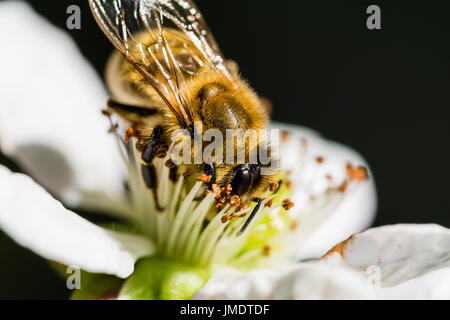 The European bee pollinating a white small flower in the spring meadow. Macro shot with dark blurry background. - Stock Photo
