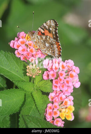 A Painted Lady moth with folded wings feeds on a Lantana bloom. - Stock Photo