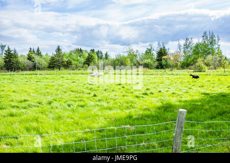 Black sheep running in pasture with white sheep during summer - Stock Photo