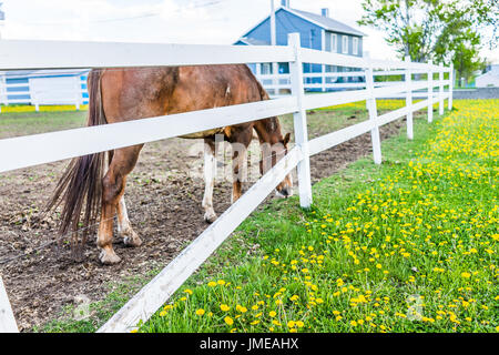 Closeup of brown horse by white fence in farm paddock grazing on grass with many yellow dandelion flowers - Stock Photo