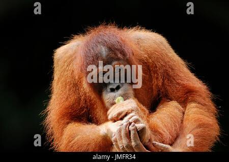 Young Sumatran Orang-utan / (Pongo pygmaeus abelii, Pongo abelii) / Sumatran Orangutan | Sumatra-Orang-Utan, Jungtier - Stock Photo