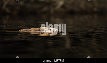 European Beaver, Castor fiber, swimming in black water - Stock Photo
