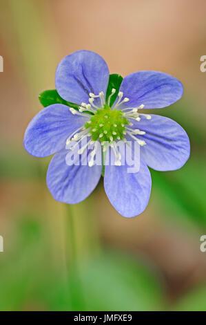 Liverleaf, Provence, Southern France / (Hepatica nobilis) / Common Hepatica, Liverwort | Leberbluemchen, Provence, - Stock Photo