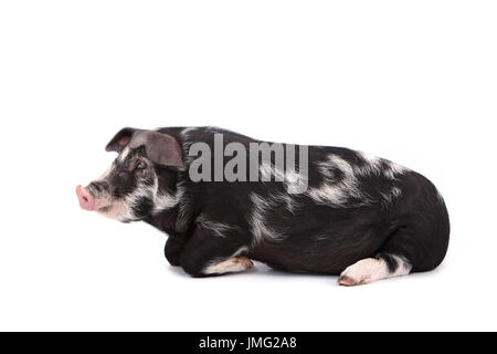 Turopolje Pig. Piglet lying. Studio picture against a white background. Germany - Stock Photo
