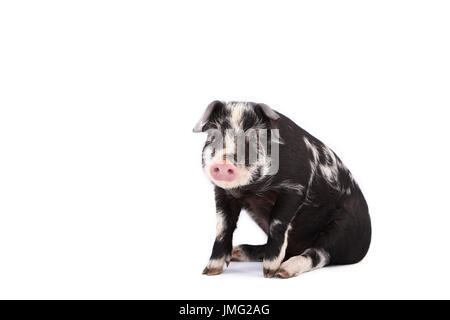 Turopolje Pig. Piglet sitting. Studio picture against a white background. Germany - Stock Photo