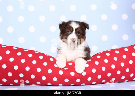 Australian Shepherd. Puppy (6 weeks old) lying on a red cushiont with white polka dots. Studio picture against a - Stock Photo