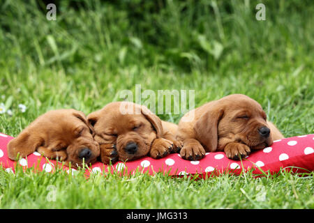Labrador Retriever. Three puppies (6 weeks old) sleeping on a red cushion with white polka dots. Germany - Stock Photo