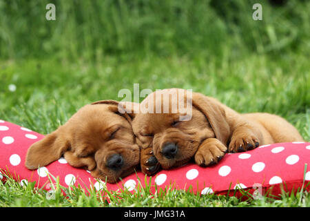 Labrador Retriever. Two puppies (6 weeks old) sleeping on a red cushion with white polka dots. Germany - Stock Photo