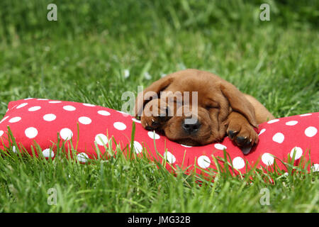Labrador Retriever. Puppy (6 weeks old) sleeping on a red cushion with white polka dots. Germany - Stock Photo