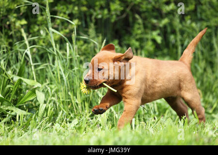 Labrador Retriever. Puppy (6 weeks old) running on a meadow, carrying a Dandelion flower. Germany - Stock Photo