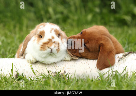 Labrador Retriever and Dwarf Lop-eared bunny. Puppy (6 weeks old) sniffing at rabbit, while lying on a birch log. - Stock Photo