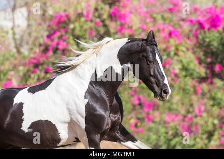Marwari Horse. Piebald stallion galloping in a paddock, portrait. India - Stock Photo