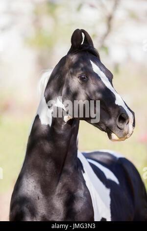 Marwari Horse. Portrait of piebald stallion. India - Stock Photo
