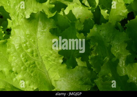 Fresh lettuce leaves in drops of morning dew of summer - Stock Photo