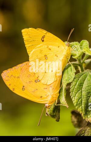 A pair of Orange-barred Sulphur butterflies mating