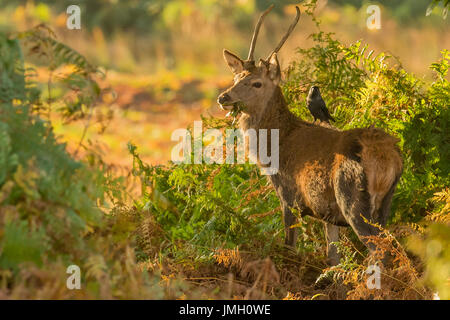 A Red deer stag during the rutting season - Stock Photo