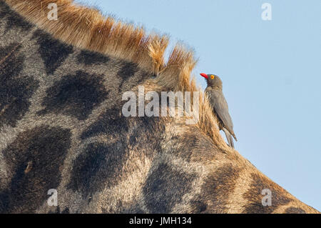 A Red-billed Oxpecker on a Giraffe - Stock Photo