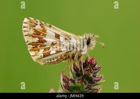 Safflower Skipper, Provence, Southern France / (Pyrgus carthami, Hesperia carthami, Pyrgus frittilarius) - Stock Photo