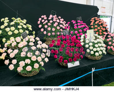 Various Carnations flower display and awarded in a floral marquee in the Royal welsh show builth wells Wales UK - Stock Photo