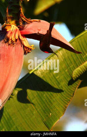 Scarlet-chested Sunbird, Calcomitra senegalensis, male on banana plant, Leopard's Hilll, Lusaka, Zambia - Stock Photo
