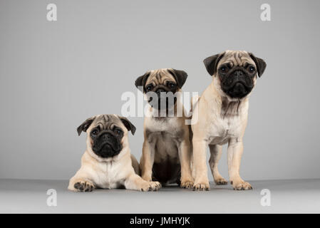Pug Puppies, UK. - Stock Photo