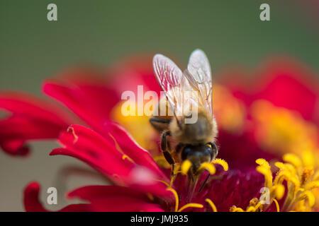 Honey bee on red zinnia flower - Stock Photo