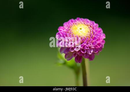 A magenta dahlia with yellow center. - Stock Photo