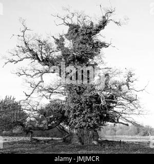 Ancient Oak with Large Girth in Winter - Stock Photo