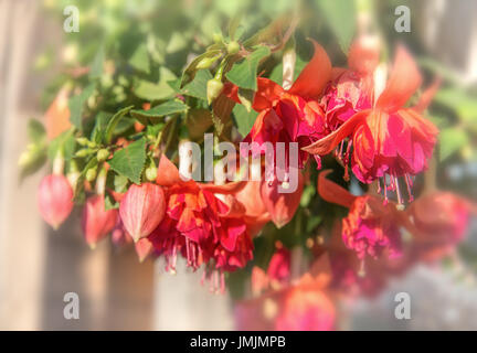 Suspended flower red fuchsia under sunlight.Natural summer background. Soft focus and blurred - Stock Photo