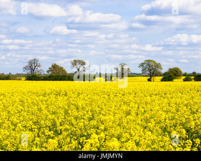 Yellow Flower Fields Stretch to Horizon - Stock Photo