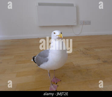 This Seagull (Larus argentatus) has learned that if he walks into a house he will get treats. Pictured here waiting - Stock Photo