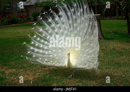 albino white Male peacock displaying showing colorful tail feathers - Stock Photo
