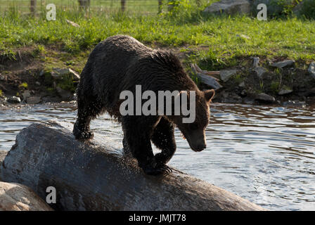 Grizzly bear (Ursus arctos horribilis) walking on a log in wildlife refuge at Grouse Mountain, Vancouver, British - Stock Photo