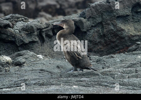 Flightless Cormorant - Cormorán no volador - Galápagos Islands - Stock Photo