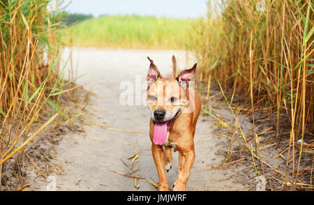 Walking in the middle of a reed red American pit bull terrier, a summer day - Stock Photo