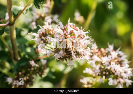 close up of a honey bee extracting nectar form the blooms on a oregano plant in an organic garden - Stock Photo