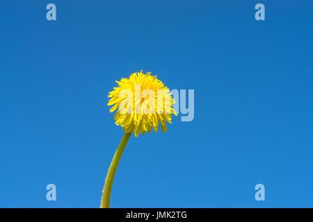 Yellow Dandelion with long stem. Taraxacum Officinale. Blue sky background - Stock Photo