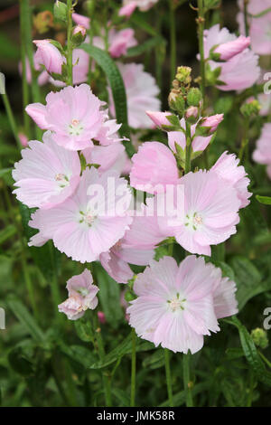 Musk Mallow Malva moschata - Stock Photo