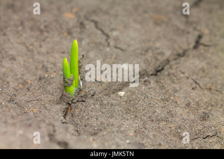 A new green sprout made its way out of the soil and stretch for the sun - Stock Photo