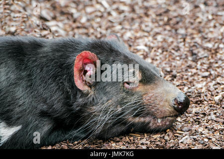 Sleeping Tasmanian devil (Sarcophilus harrisii), largest carnivorous marsupial native to Australia, close up showing - Stock Photo