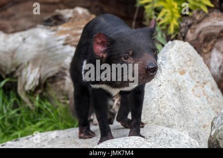 Tasmanian devil (Sarcophilus harrisii), largest carnivorous marsupial native to Australia - Stock Photo