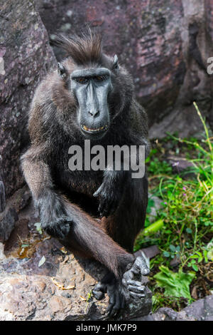 Celebes crested macaque / crested black macaque / Sulawesi crested macaque / black ape (Macaca nigra) native to - Stock Photo