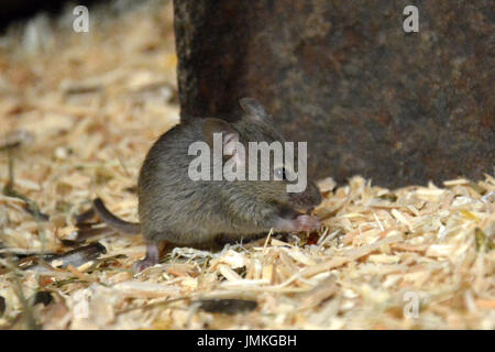 House Mouse (Mus musculus) - sitting and eating or nibbling at a seed - Stock Photo